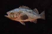 Black Rockfish (35cm)