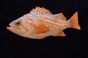 Canary Rockfish (37cm)
