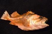 Copper Rockfish (53cm)