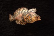 Crested Sculpin (Female) (16cm)