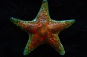 Leather Seastar Pin