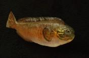Prowfish (60cm)