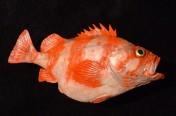Redbanded Rockfish (63cm)
