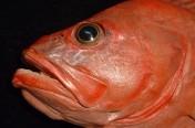 Shortraker Rockfish (102cm)