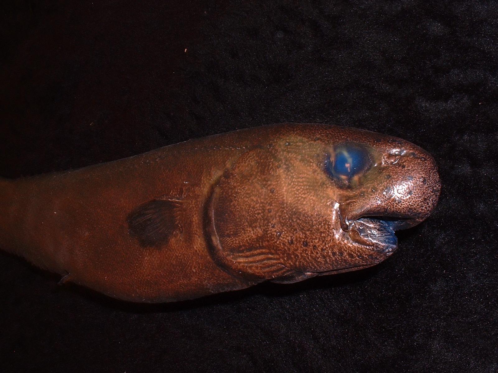 snubnose spiny eel 63cm snubnose spiny eel 2