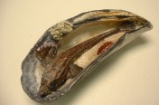 Spearnose Poacher in Mussel Shell (10cm)
