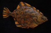 Starry Flounder (64cm)