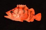 Tiger Rockfish (30cm)
