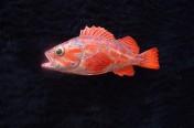 Vermillion Rockfish (20cm)