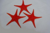 Vermillion Seastars (17cm)