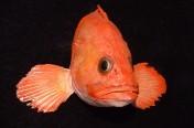 Yelloweye Rockfish (34cm)