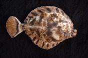 Curlfin Sole (31cm)