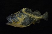 China Rockfish (35cm)