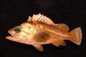Copper Rockfish (26cm)