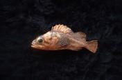 Copper Rockfish (4cm)