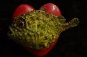 Lumpsucker On Heart
