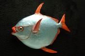 Opah (Moonfish) (71cm)