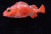 Rosethorn Rockfish (32cm)