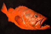 Rougheye Rockfish (90cm)