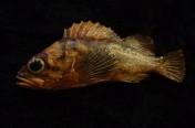 Tiny Copper Rockfish Pin