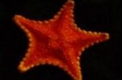 Vermillion Seastar