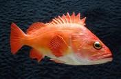 Yellow Rockfish (40cm)