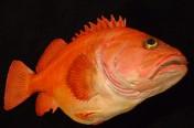 Yelloweye Rockfish (71cm)